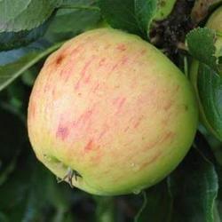 Apples Abbas - 500g
