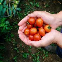 Tomatoes Cherry 250g punnet x2