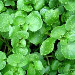 Herbs - Watercress - 1/2  Bunch