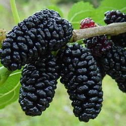 Mulberries - 125g Punnet