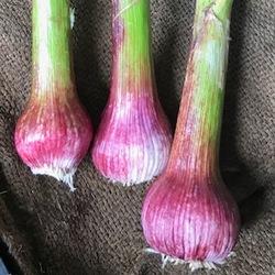 Garlic - Spring Fresh Bulb