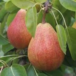 Pears - Clapp -  500g